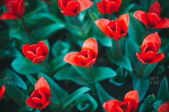 Vibrant red tulips