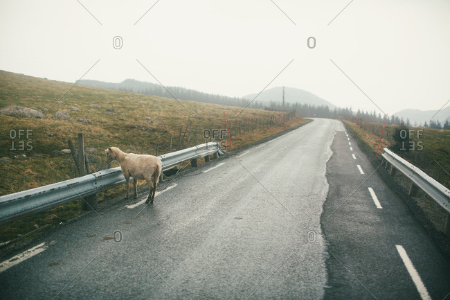 Sheep standing on country road