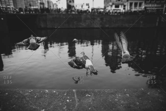 Pigeons taking flight over a canal