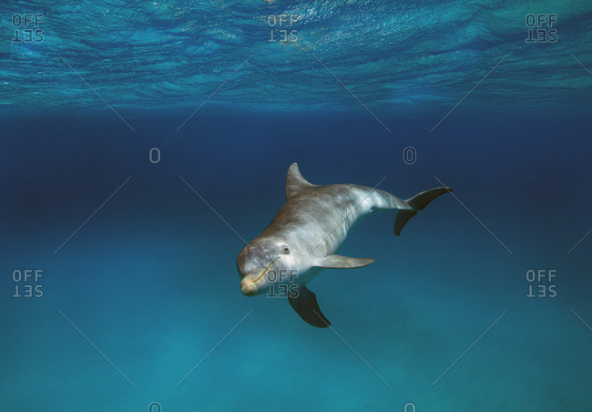 Bottleneck dolphin in the Atlantic