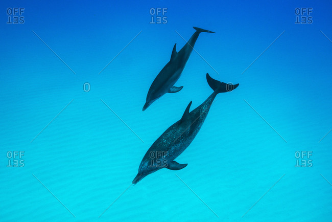 Bottleneck dolphins in the Atlantic