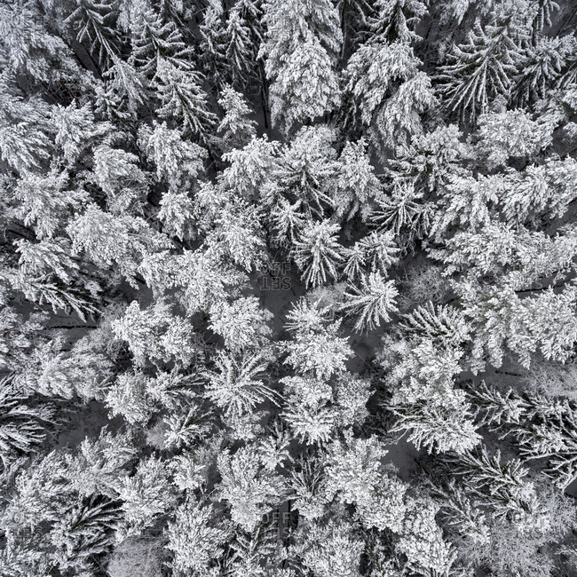 Aerial view of a forest of white, snow-covered trees