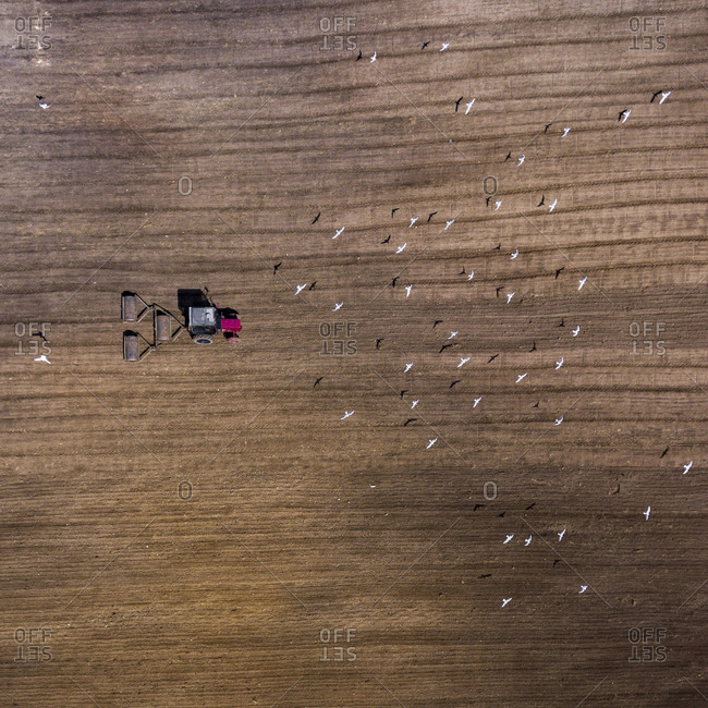 Aerial view of gulls following a tractor preparing a rural field