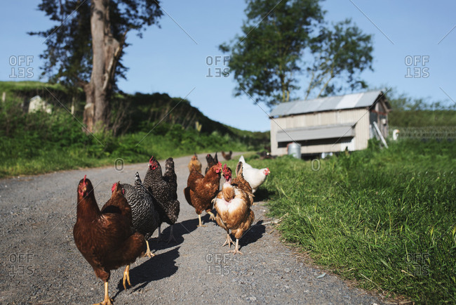 Many chickens walking on gravel road on farm