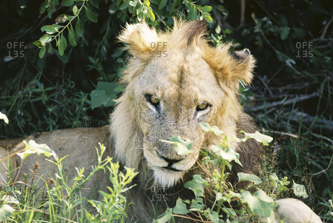 Portrait of a lion resting in the grass