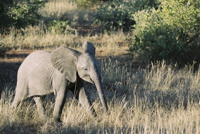 Elephant walking through the tall grass in the South African countryside