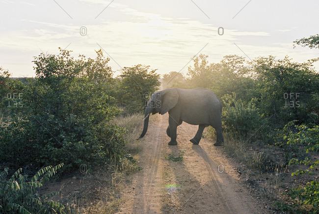Elephant crossing a dirt road