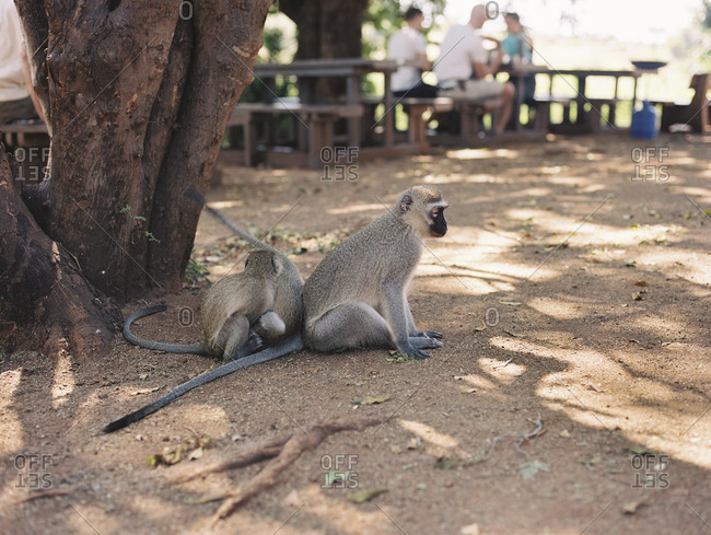 Vervet monkeys sitting beneath tree at a picnic site