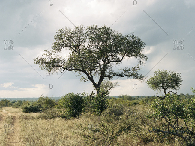 Tall tree in South African grassland