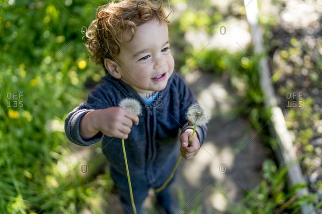 Toddler boy picking dandelions