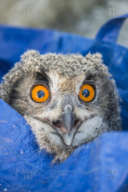 Close-up of an owlet in a bright blue bag