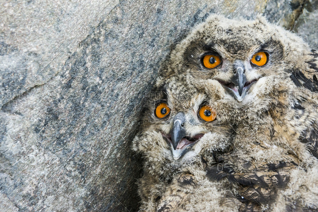 Two owlets huddled together against a rock