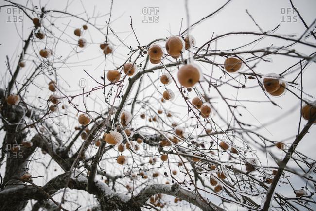 Frozen fruit on tree in winter