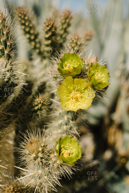 Yellow cactus flowers in bloom