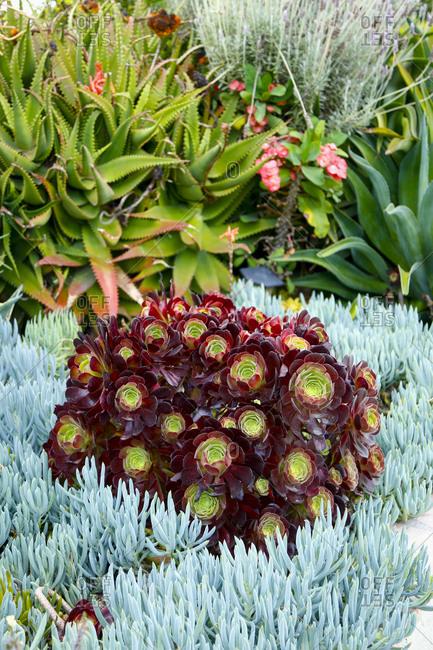 Xeric succulent