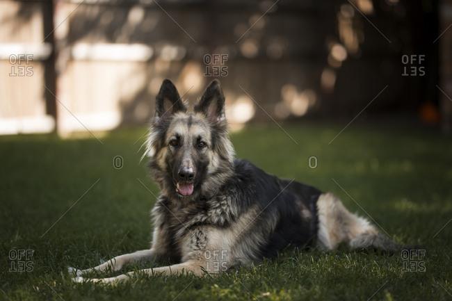 Dog lying in grass in a backyard