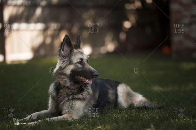 Dog resting in grass in a backyard