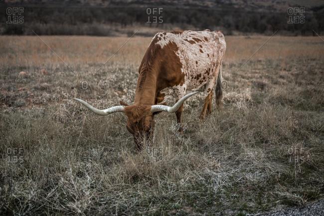 Long horn cow grazing in a field