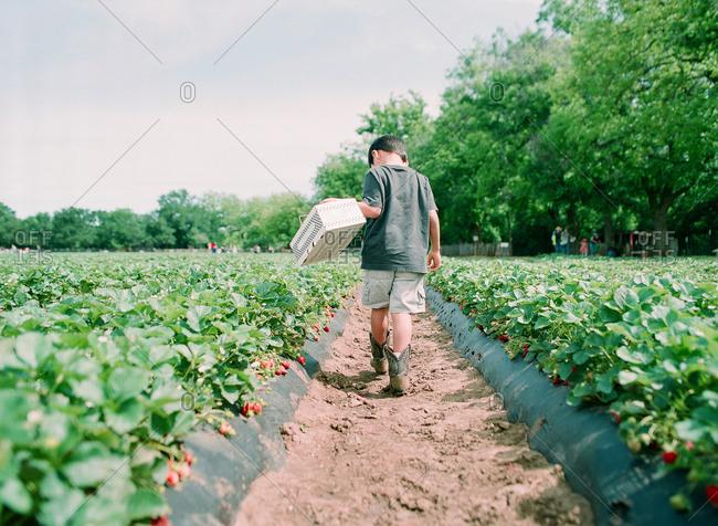 Boy walking down a row of strawberry plants at farm