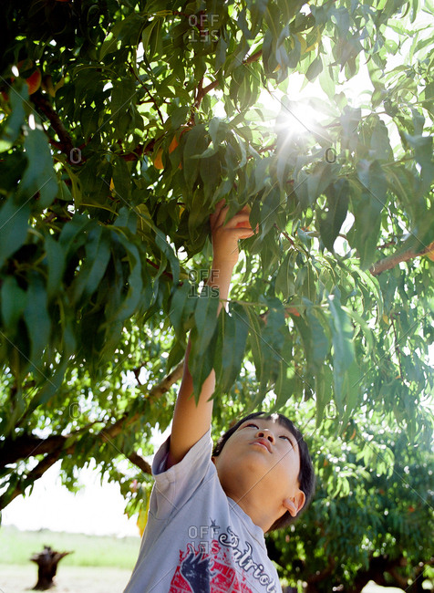 Boy reaches into tree to pick fruit