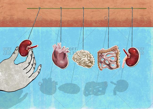 Homeostasis of organs, intestines, heart, kidneys, brain