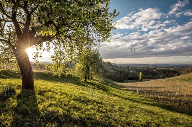 Austria- Styria- Ratsch an der Weinstrasse- vineyard