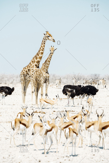 Namibia- Etosha National Park- two giraffes- ostriches- springboks and zebras