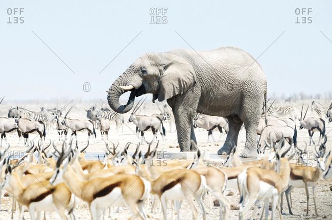 Namibia- Etosha National Park- elephant surrounded by Springboks- Oryx and Zebras