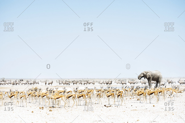 Namibia- Etosha National Park- elephant surrounded by Springboks and Oryx