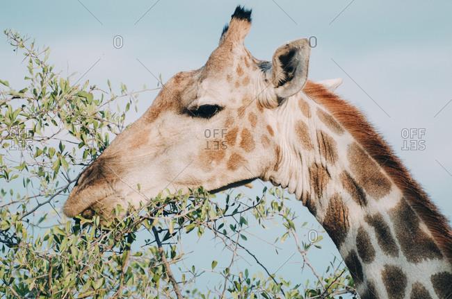 Namibia- Etosha National Park- eating giraffe