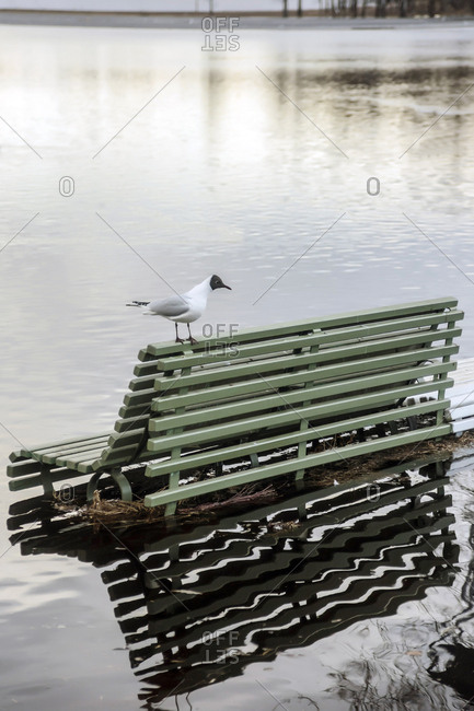 Black-headed gull on flooded bench