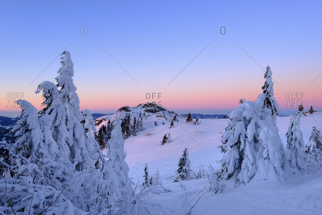 Germany- Bavaria- Bavarian Forest in winter- Bodenmaiser Riegel- snow-capped spruces in the morning