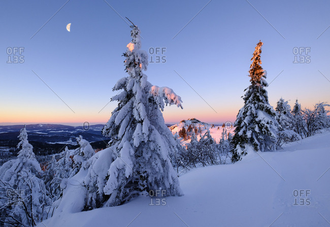 Germany- Bavaria- Bavarian Forest in winter- Great Arber- snow-capped spruces in the morning