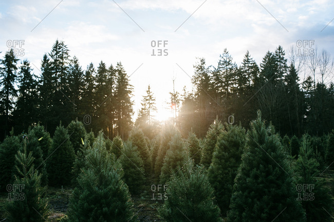 Sun setting over a forest and evergreen tree farm