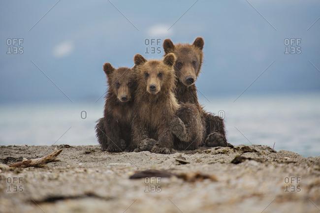 Kamchatka brown bears relaxing on lakeshore, Kurile Lake, Kamchatka Peninsula, Russia