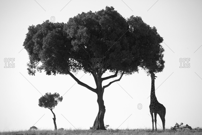 Giraffe feeding on tree