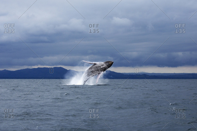 Humpback whale jumping in sea against dramatic sky
