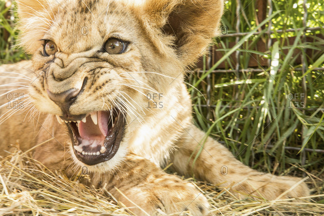 Close-up of lion cub roaring
