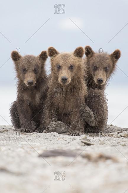 Portrait of Kamchatka brown bears sitting on lakeshore, Kurile Lake, Kamchatka Peninsula, Russia