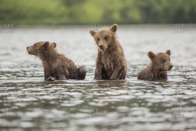 Kamchatka brown bear cubs in lake, Kurile Lake, Kamchatka Peninsula, Russia