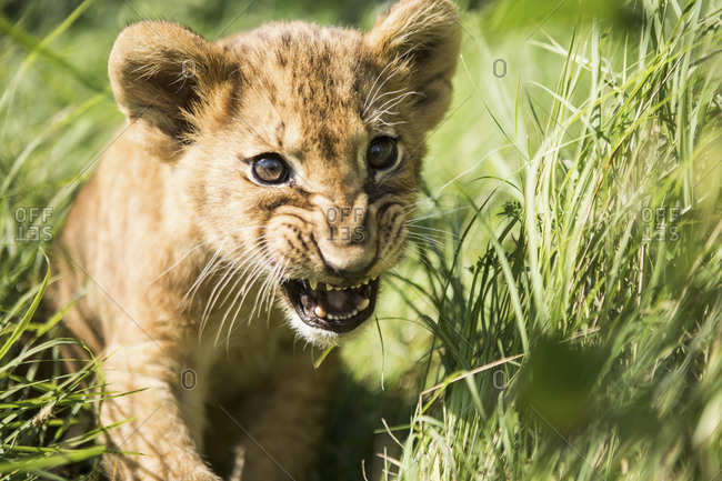 Close-up of lion cub roaring in grass