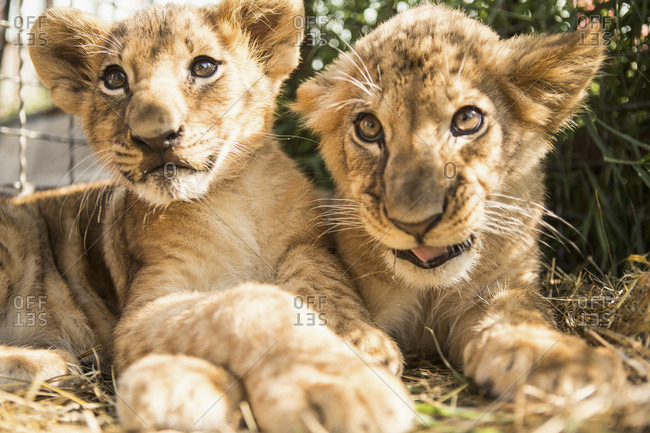 Close-up of lion cubs sitting together