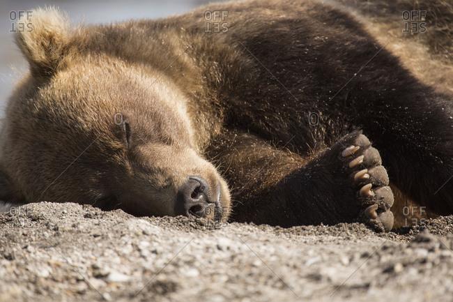 Kamchatka brown bear relaxing on ground, Kurile Lake, Kamchatka Peninsula, Russia