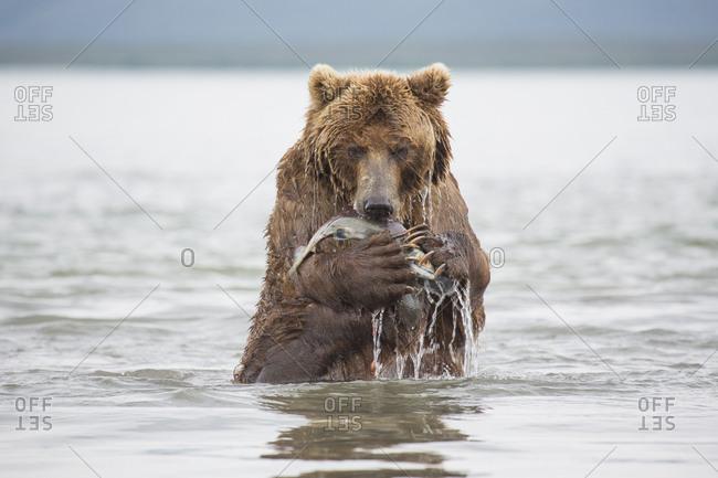 Kamchatka brown bear eating salmon in lake, Kurile Lake, Kamchatka Peninsula, Russia
