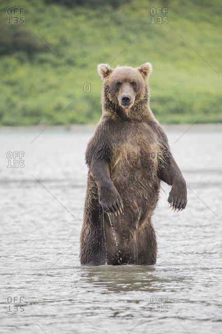 Kamchatka brown bear standing in lake, Kurile Lake, Kamchatka Peninsula, Russia