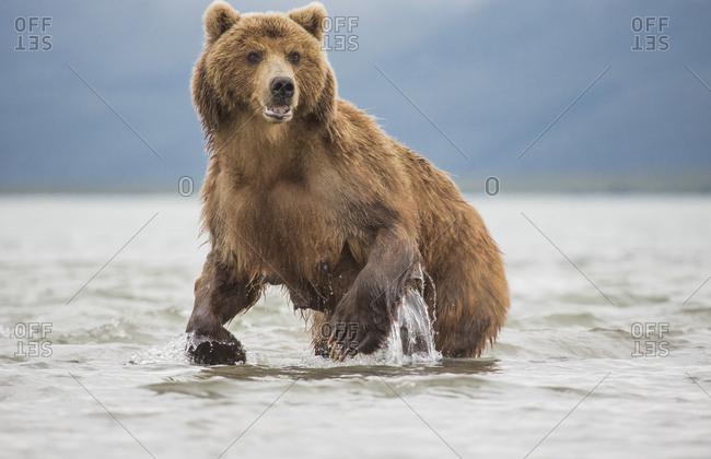 Kamchatka brown bear in a lake, Kurile Lake, Kamchatka Peninsula, Russia
