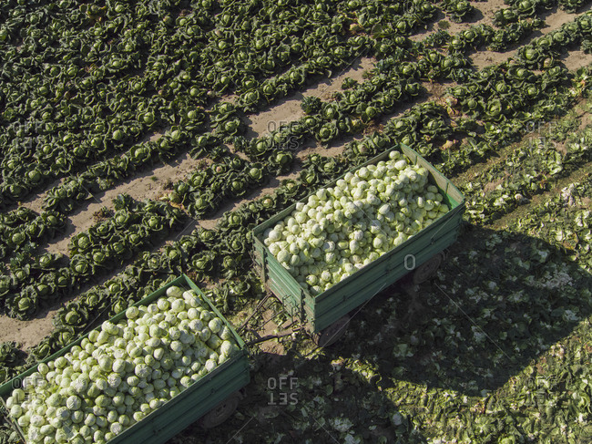 High angle view of trailers of cabbages in field, St. Poelten, Austria