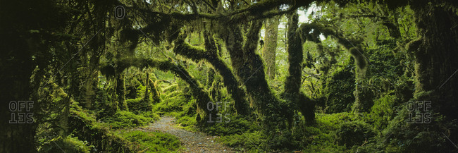 Panoramic view of moss covered trees in forest, Enchanted Forest, Queulat National Park, Patagonia