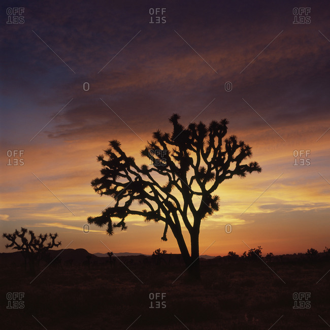 Silhouette of tree in landscape against orange sky during sunset, Joshua Tree National Park, USA