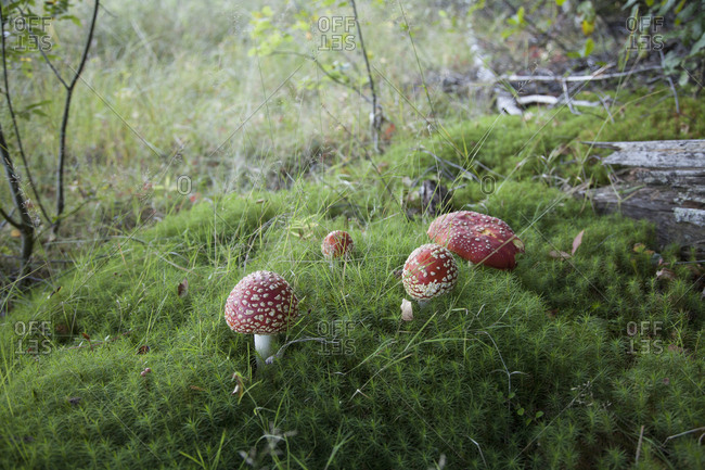 High angle view of fly agaric mushrooms growing in forest